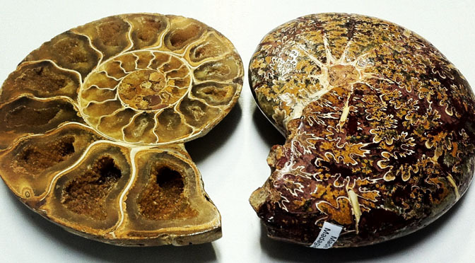 Snake Stones: Ammonite with Sutures and Chambers