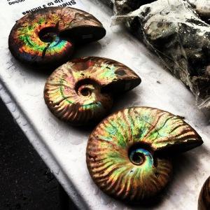 iridescent ammonite