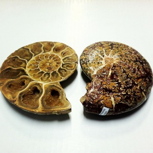 Split Ammonite with Sutures